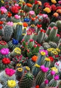 colorful cactus colorful cactus flowers plants bushes