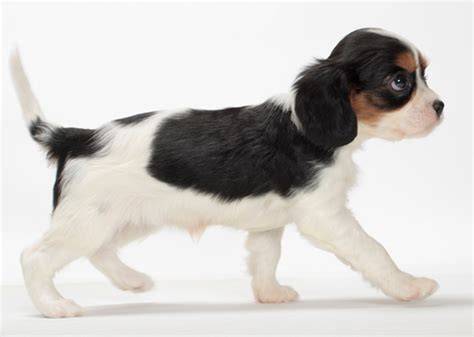 breeds that never won the westminster show ex