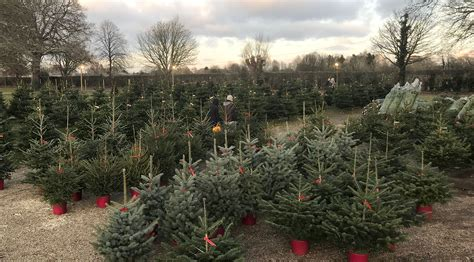cut your own christmas tree crockford bridge farm surrey