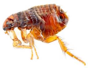 what color are fleas flea narragansett pest inc 401 783