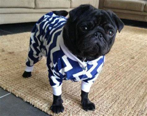 pug puppy clothes discover and save creative ideas