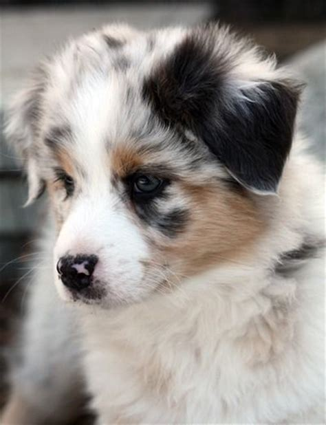 how much are australian shepherd puppies best 25 australian shepherd puppies ideas on blue merle australian