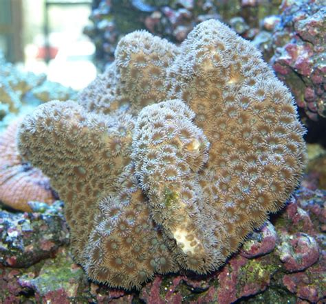 Cop Coral whisker pagoda cup coral