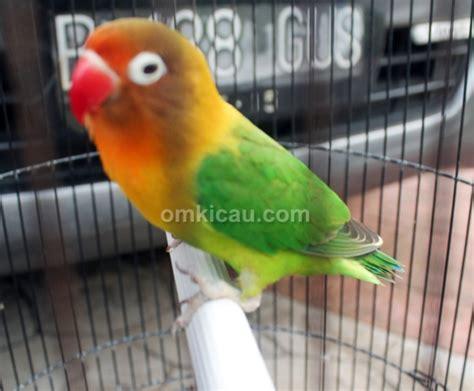Wp Lovebird Bertelur Breding Obat Burung lovebird goes km indukan pun masih berprestasi di lapangan klub burung