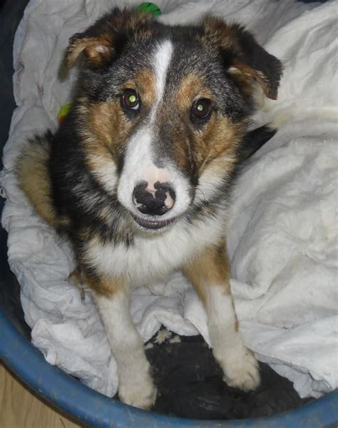 puppies for adoption delaware for adoption sammy chesterfield derbyshire pets4homes