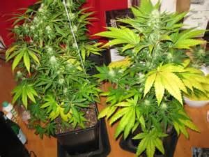le croissance et floraison cannabis utiliser l engrais pour cultiver du cannabis en terre