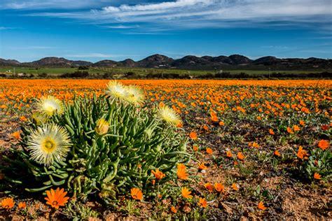 i fiori deserto foto namaqualand in fiore il miracolo della primavera