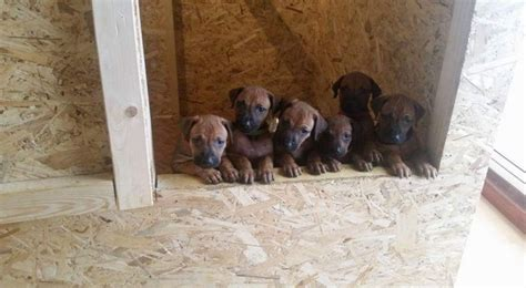 Rhodesian Ridgeback Puppies Northern California