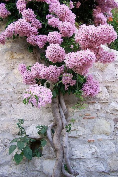 lilac climbing plant beautiful climbing lilac vine home exterior