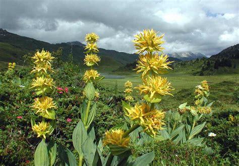 fiore di genziana propriet 224 e curiosit 224 della genziana idee green