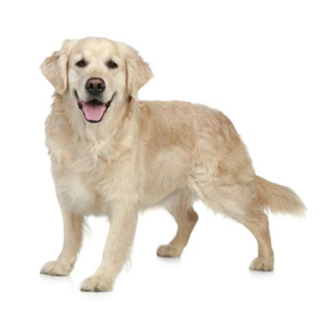 golden retrievers iowa golden retriever raza caracter 237 sticas y comportamiento