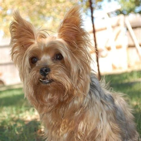 yorkie oklahoma 1000 images about cuties on yorkie puppies for sale yorkie and silky terrier
