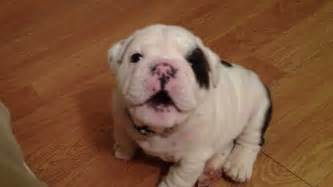 Bentley Bulldogs Bentley The Bulldog Puppy Is Fussy Pawbuzz