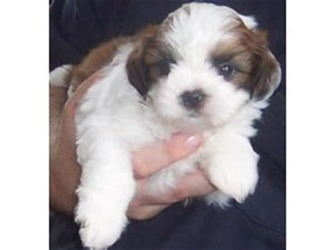 shih tzu puppies for adoption in ky shih tzu puppies in kentucky
