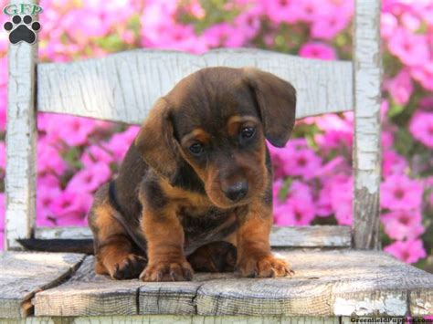 beagle dachshund mix puppies for sale dachshund mix puppies for sale greenfield puppies