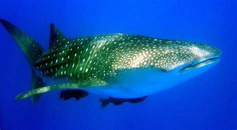 blue whale vs whale shark whale shark vs blue whale