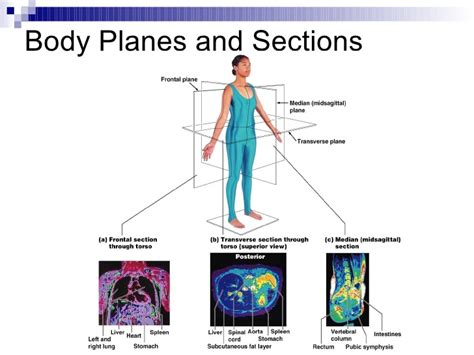 body orientation direction planes and sections intro to anatomy powerpoint