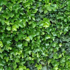 Irish Flowers Hedera Hibernica Irish Ivy