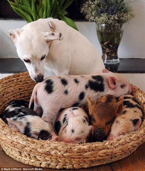 guinea pigs and dogs pin baby pig and on