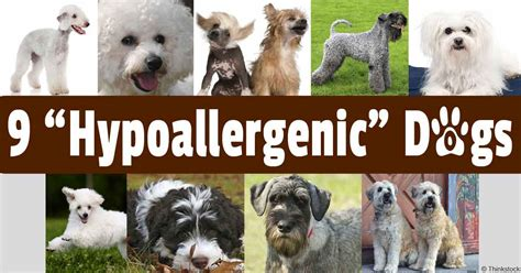 non allergic dogs non shedding hypoallergenic breeds breeds picture