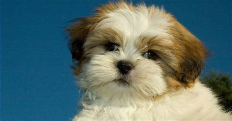 how to groom a shih tzu at home how to groom a shih tzu puppy ehow uk