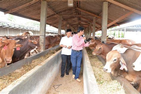 Agribisnis Ternak Sapi pemprov lung industri ternak sapi masih cemeralang agribisnis co id