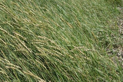 what is couch grass agropyron pungens wikipedia