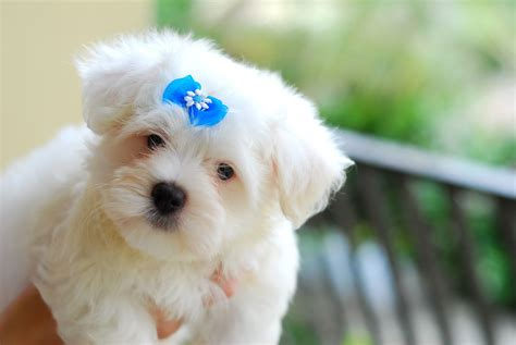 puppy blues file maltese puppy blue bow jpg