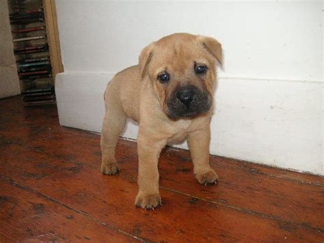 shar pei cross staffordshire bull terrier puppys