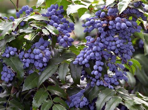 Garten Pflanzen Essbar by Zierstr 228 Ucher Mit Essbaren Beeren Foods Wildes