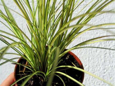 harros pflanzenwelt uncinia rubra mahagonigras gr 228 ser kaufen