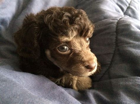 chocolate poodle puppy my chocolate phantom poodle puppy 8 weeks poodle