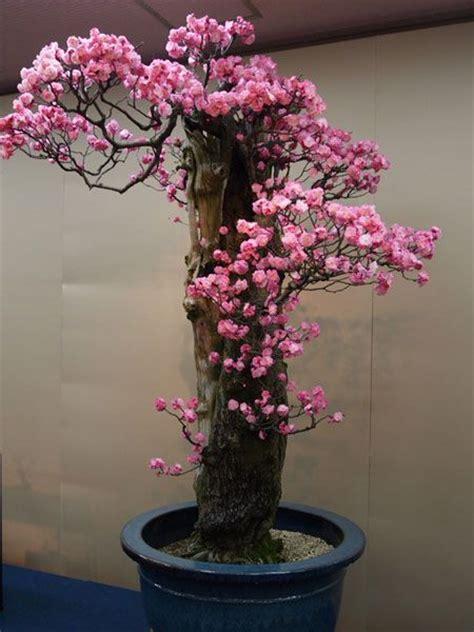 Bonsai Pink bonsai pink flowers and flower on
