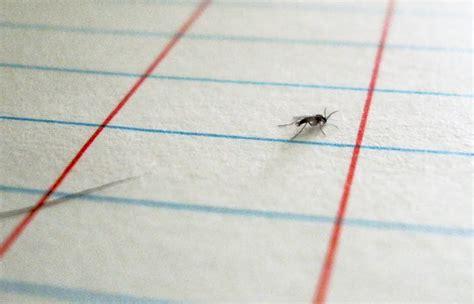Fruit Flies Vs Gnats Bobbing Gnats