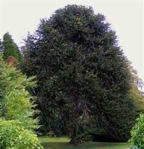 monkey puzzle tree fruit a monkey puzzle tree at kilravock castle c harrison