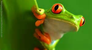 red eyed tree frog facts kids information pics amp video