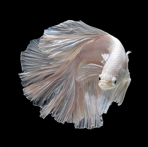 Rak Ikan Cupang marlique kumpulan jenis ikan cupang yang menakjubkan