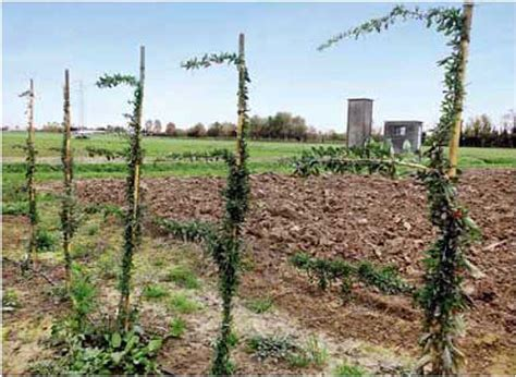 coltivazione goji in vaso bacche di goji 54 punti fondamentali da sapere per produrle