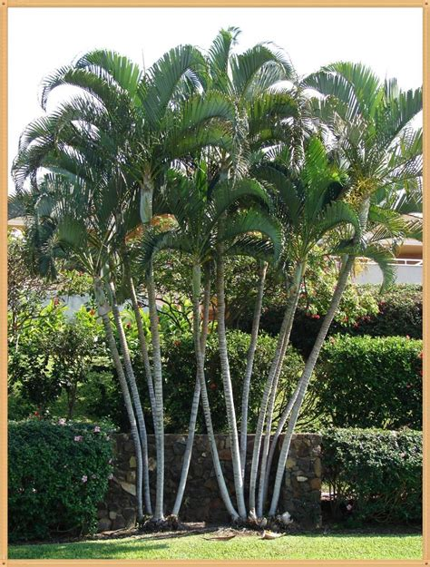 outdoor palm tree l post 5 live trees 15 quot areca palm tree fast grow indoor