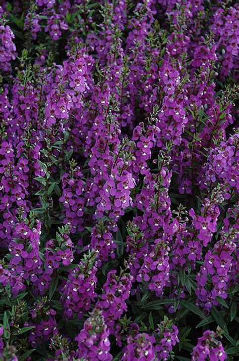 serena purple angelonia angelonia angustifolia serena