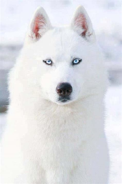 white husky puppies all white husky with blue puppy www pixshark images galleries with a bite