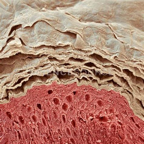 Human Skin Shedding by 69 Best Images About Science Structures And Functions Of