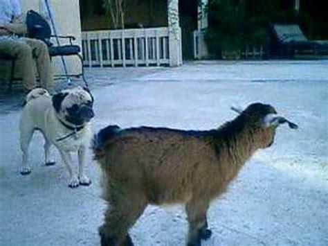 pug vs baby yoda the pug vs baby goat