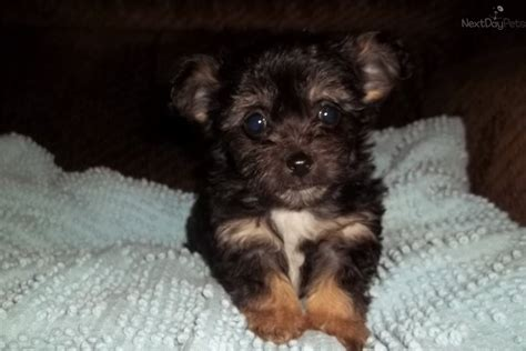 chipoo puppies pin chi poo puppies for sale image search results on