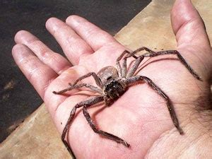 how do you get rid of spiders in your house brown recluse spider infestation wtf