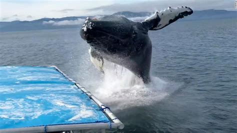 whale boat video boaters have close call with humpback whale cnn video