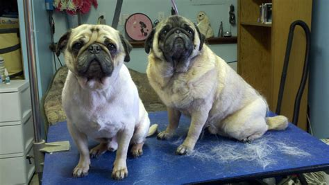 how to shave a pug image gallery pug