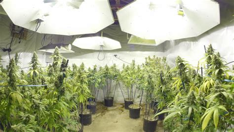 in door plant put in pot vide steadicam motion through marijuana plants with buds at