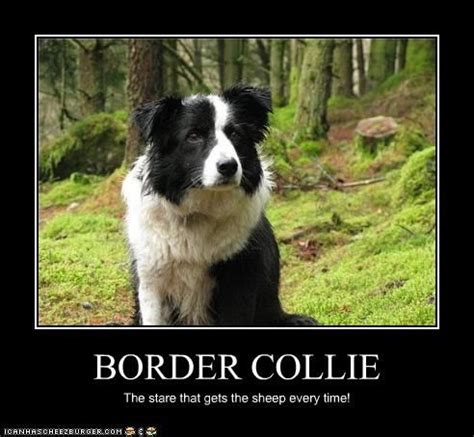 Border Collie Meme - 17 best images about border collie on pinterest image