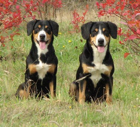 Entlebucher Mountain Shedding by